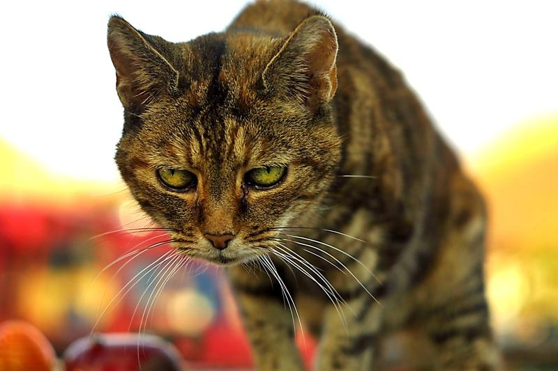Serious Business Cat Serious Cat